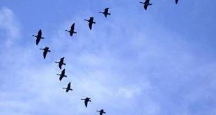 Trabajo en equipo. El vuelo de los gansos.