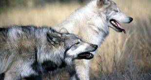 Fábula: El lobo por dentro